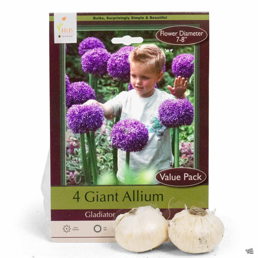 Giant Allium - Gladiator 4 bulbs