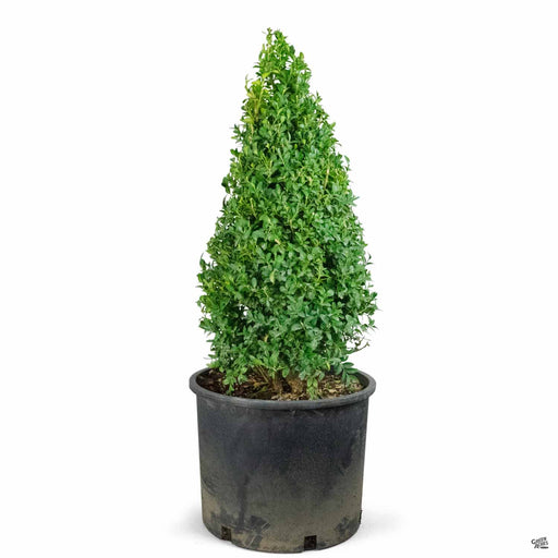 Boxwood Cone Topiary 7 gallon