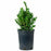Dwarf English Boxwood 1 gallon
