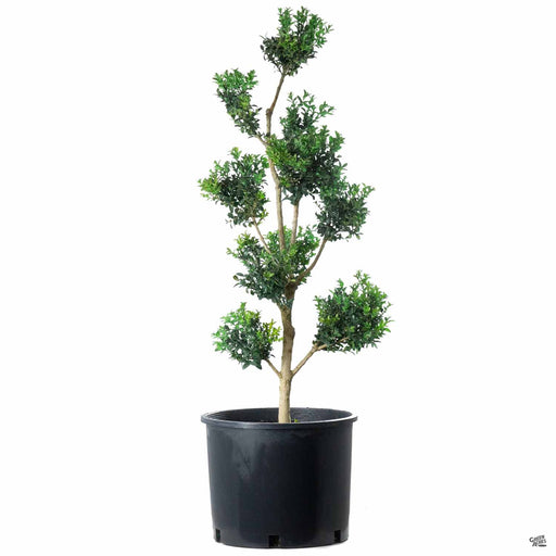 English Boxwood Pom Pom Topiary 7 gallon
