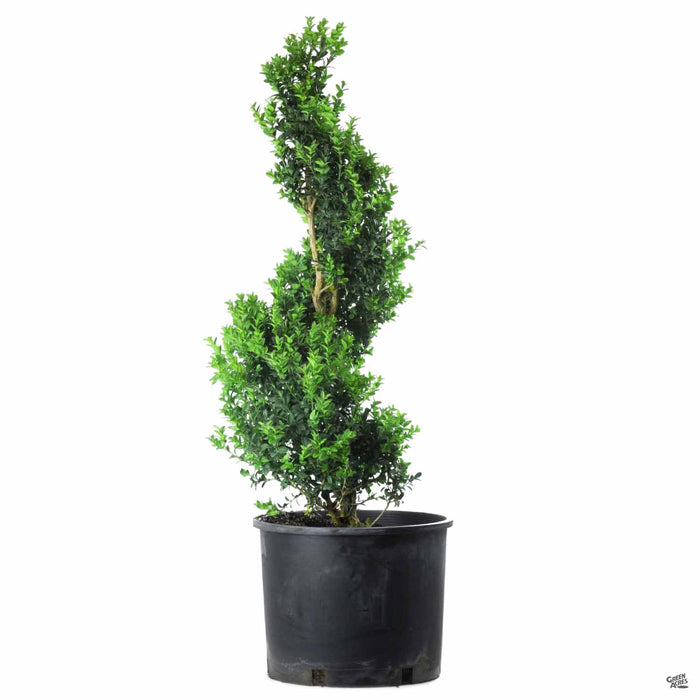 English Boxwood Spiral Topiary 7 gallon