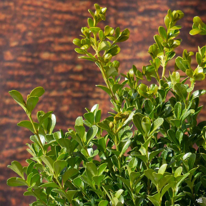 Buxus 'Green Beauty'