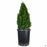 Boxwood 'Green Mountain' Cone Topiary 7 gallon