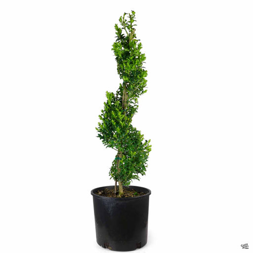 Boxwood 'Green Mountain' Spiral Topiary 3 gallon
