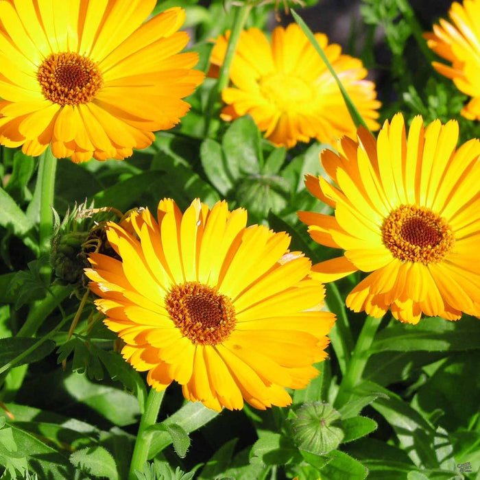 Calendula, Yellow