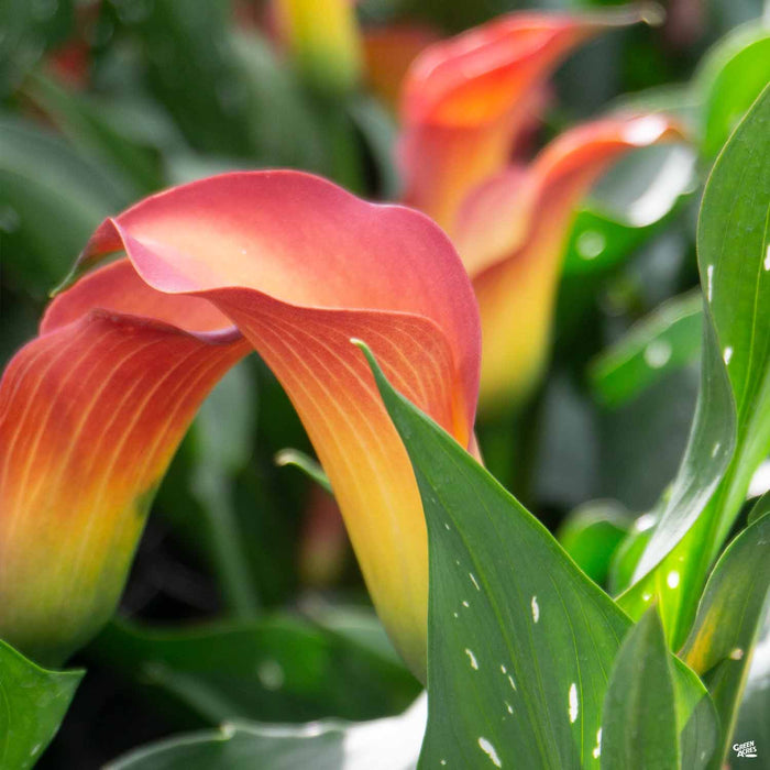 Orange Yellow Calla Lily