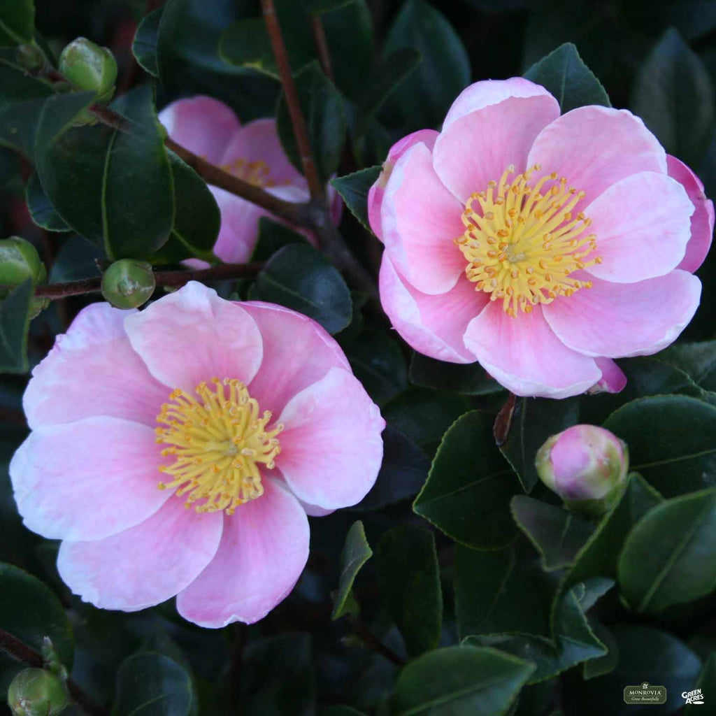 Mini Of Monrovia >> Camellia s. 'Pink-A-Boo' | Monrovia — Green Acres Nursery ...