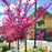 Oklahoma Redbud in Brilliant Bloom