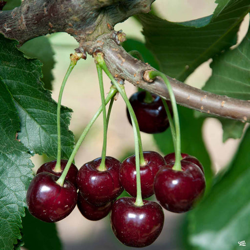 Cherry 'Black Tartarian'