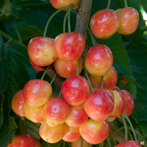 Cherry 'Royal Rainier'