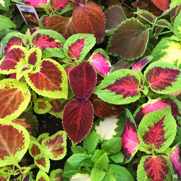 Coleus Mix 6-pack