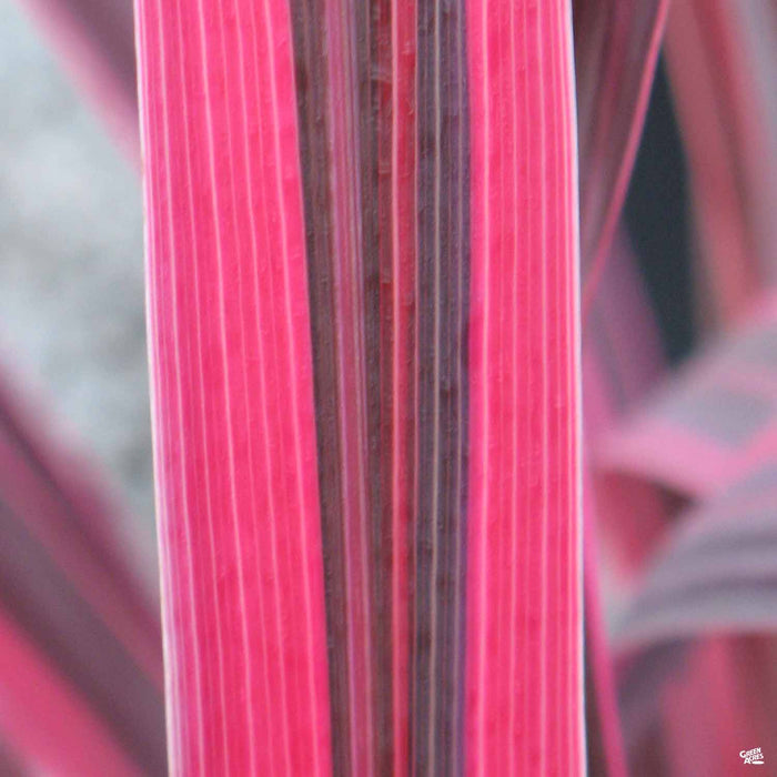 Cordyline 'Electric Pink' closeup of blade