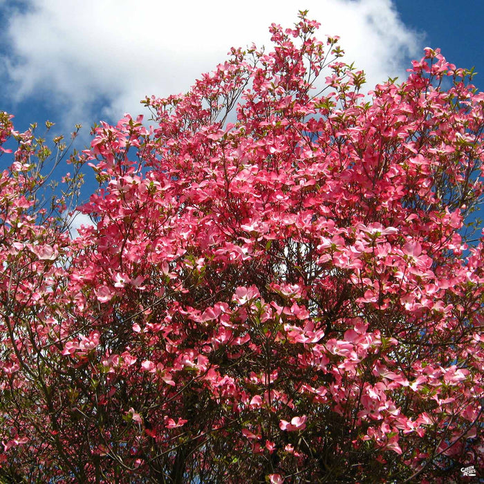 Dogwood 'Cherokee Chief'