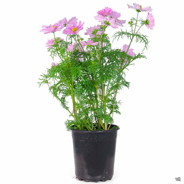 Pink Cosmos 1 gallon