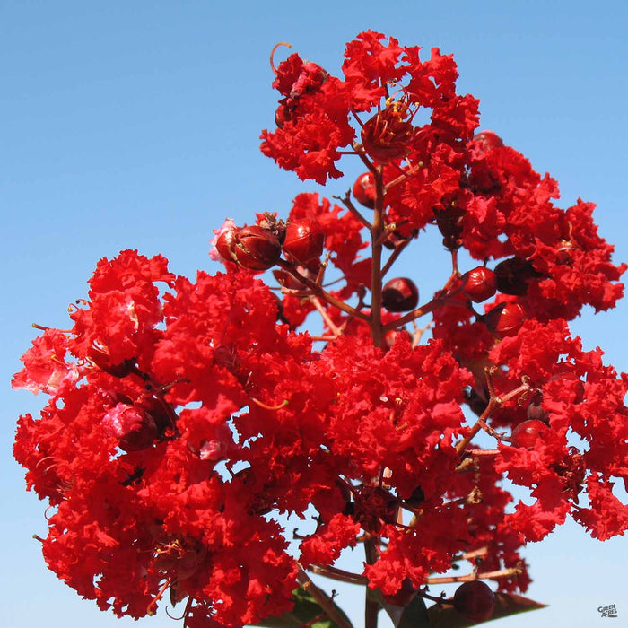 Crape Myrtle 'Red Rocket'