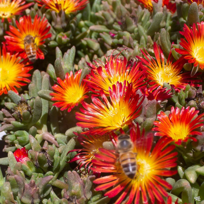 Ice Plant with Bee, Red