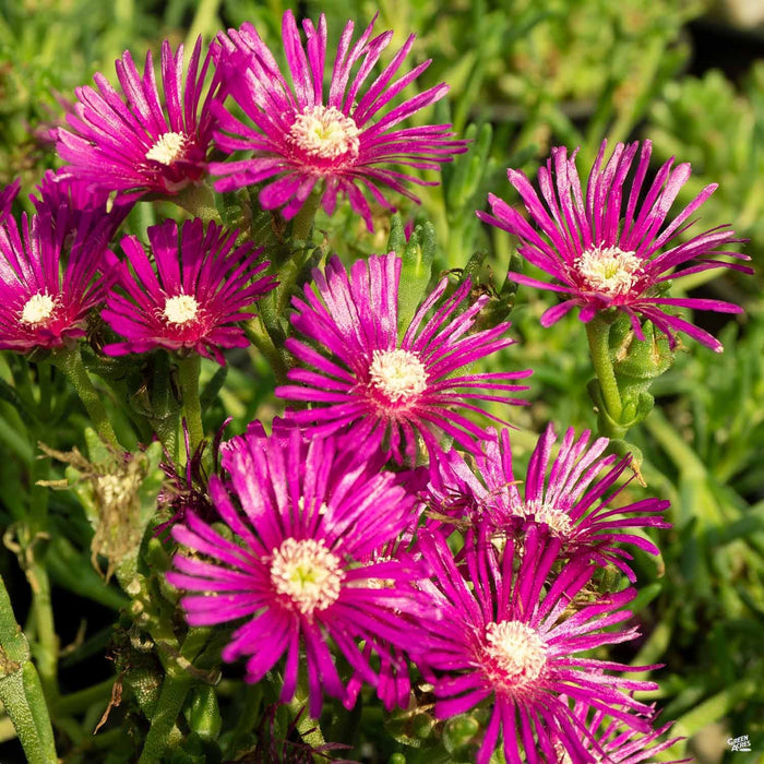Closeup of Ice Plant, Pink