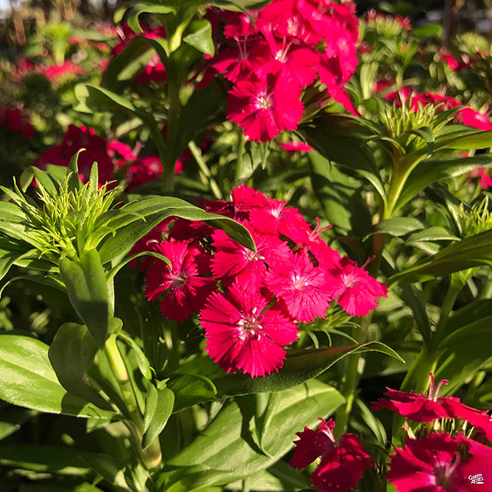 Dianthus 'Jolt Red White'
