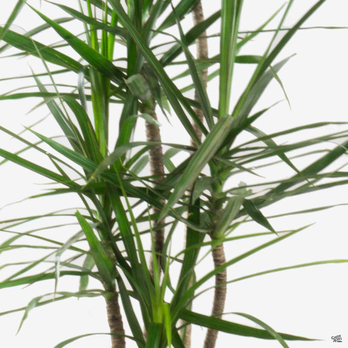 Closeup of Dracaena marginata