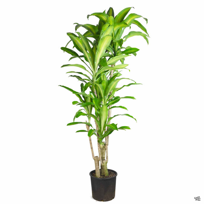Corn Plant 3 gallon basic