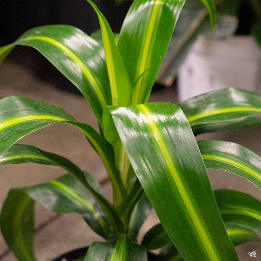Dracaena 'Hawaiian Sunshine'