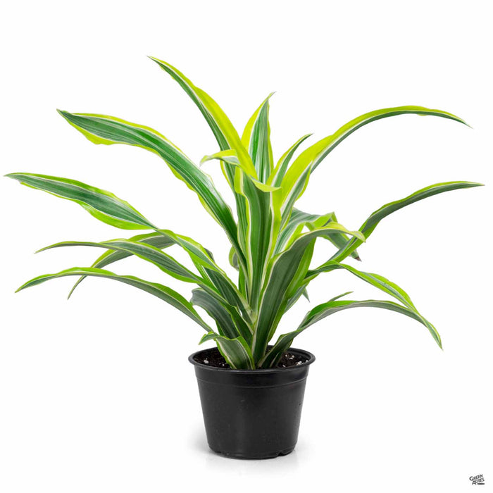 Dracaena 'Lemon Lime' 6 inch