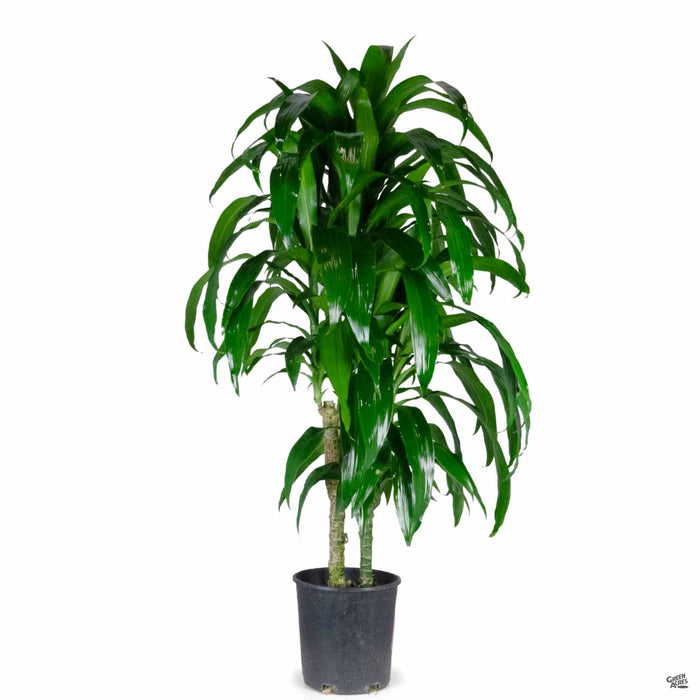 Dracaena Lisa 2 gallon (3 foot)