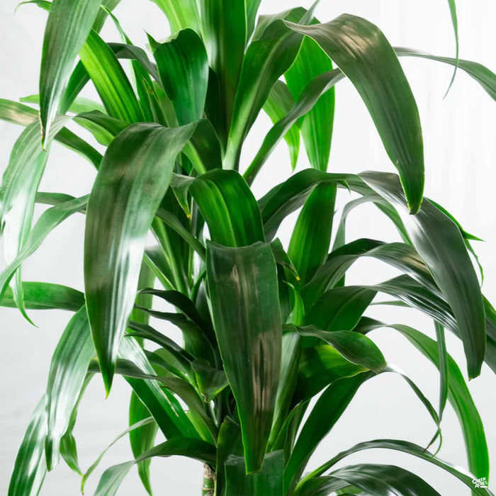 Dracaena Lisa Tips