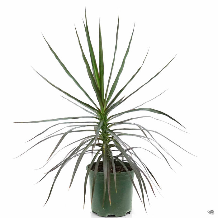 Red-Edged Dracaena 10 inch