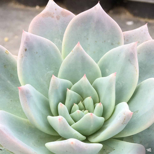 Echeveria 'Blue Bird'