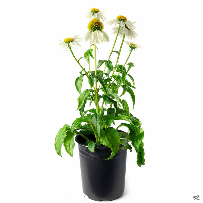 PowWow White Coneflower 1 gallon