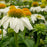 PowWow White Coneflower