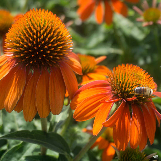 Coneflower Sombrero Adobe Orange