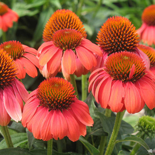 Coneflower Sombrero Hot Coral