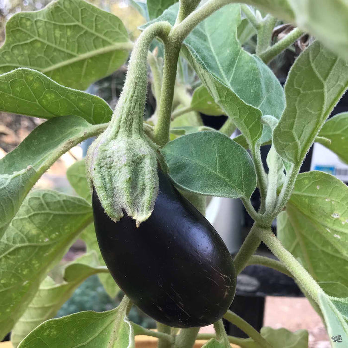 Eggplant 'Black Beauty' plant