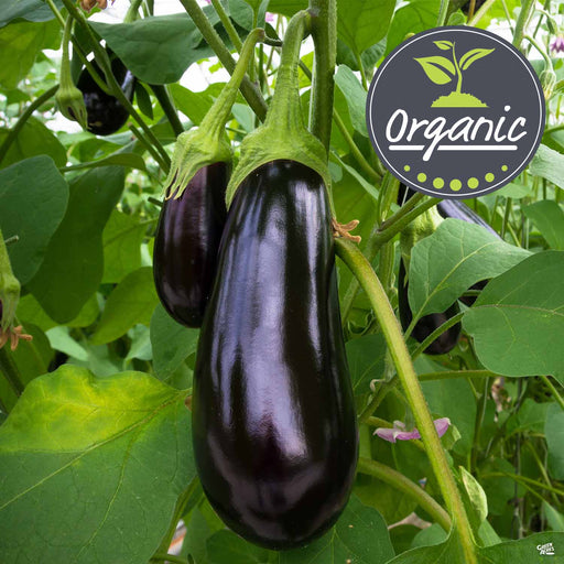 Eggplant 'Night Shadow' Organic
