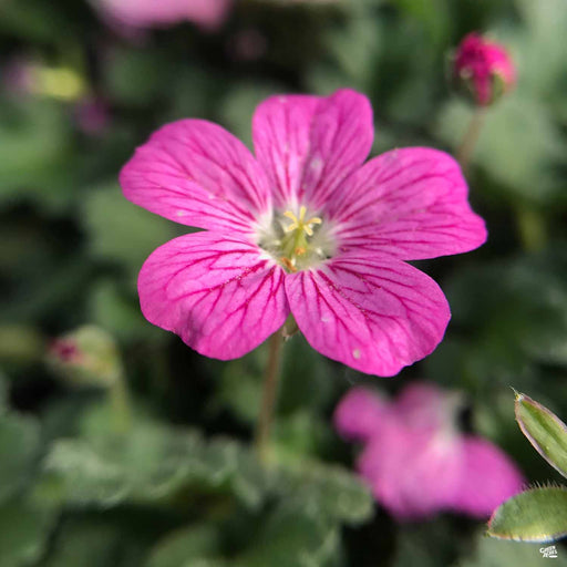 Cranesbill 'Bishop's Form'