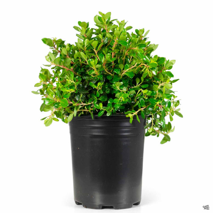 Compact Escallonia 1 gallon
