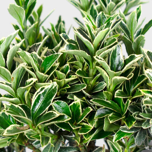 Variegated Boxleaf Euonymus