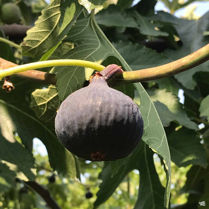 Black Mission Fig Plant