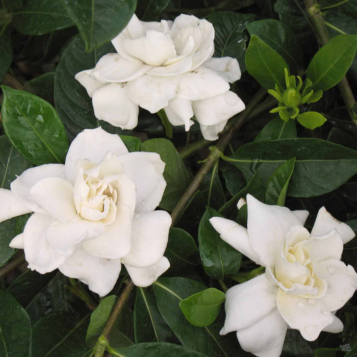 Gardenia 'Veitchii' Closeup