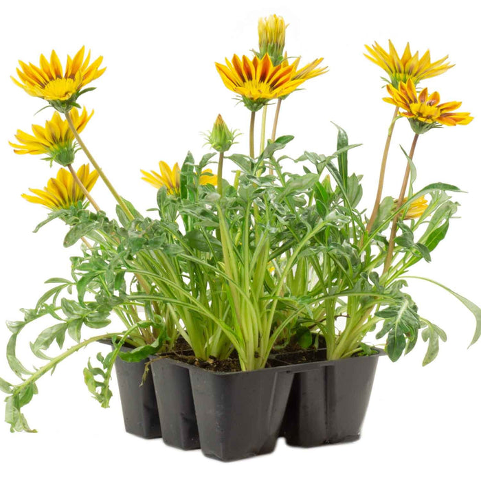 Gazania 'Daybreak Red Stripe' 6-pack