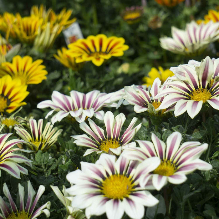Closeup of Gazania
