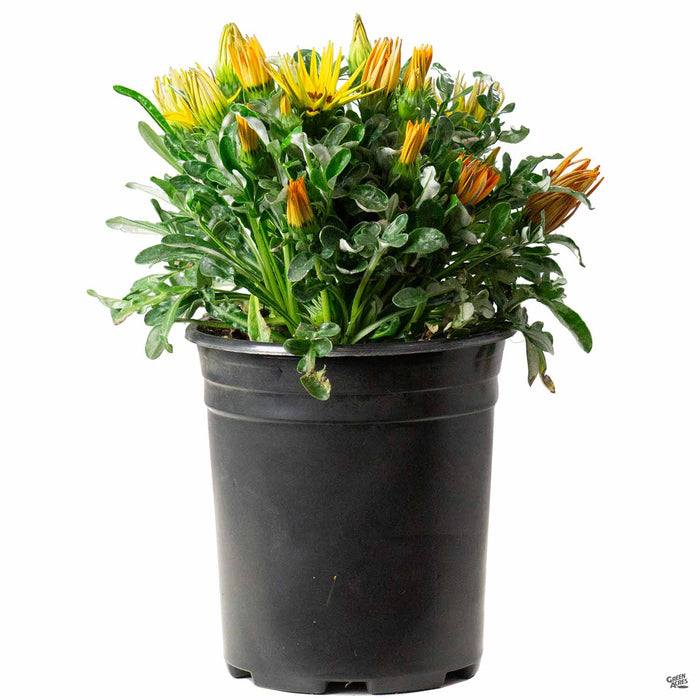Gazania 'Kiss Mix' 1 gallon