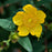 Carolina Jessamine Flower