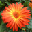 Gerber Daisy 'BiColor Yellow Orange'