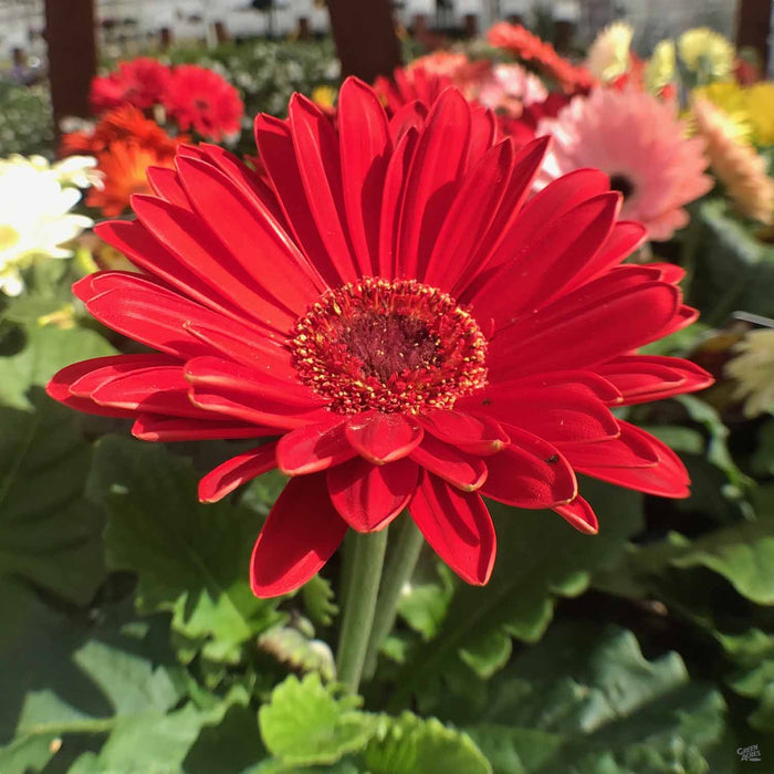 Gerber Daisy in Red