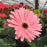Closeup of Gerbera, Pink