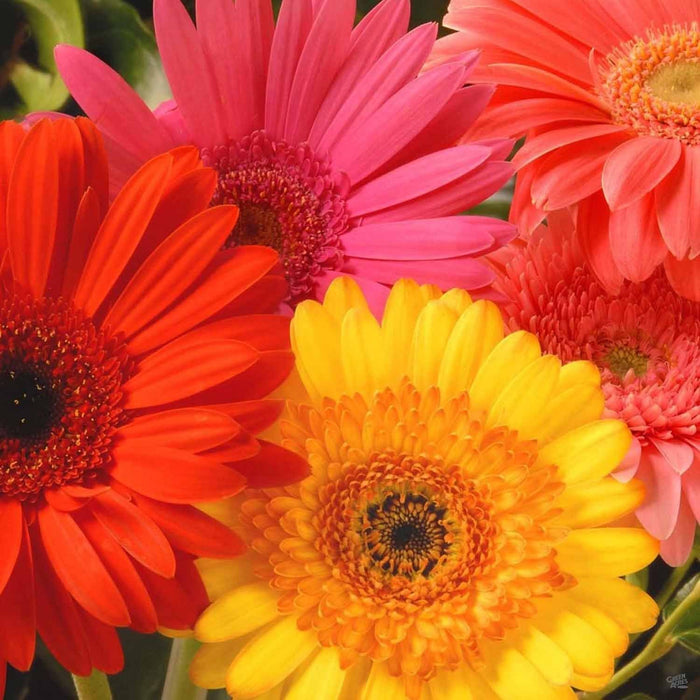 Assorted Gerber Daisies