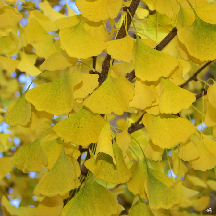 Ginkgo biloba 'Autumn Gold' Fall Colors